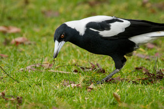 Australian Magpie_02.jpg