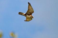 Brown falcon_04.jpg