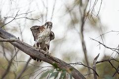 Brown falcon_03.jpg