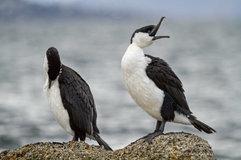 Black-faced cormorant_01.jpg