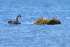 Black Swan_04.jpg