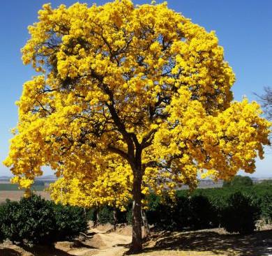 Mudas Ipê Amarelo