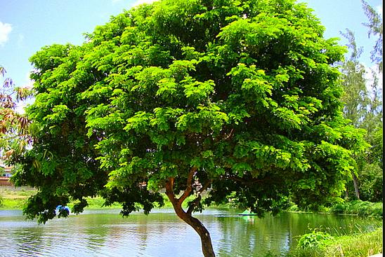 Mudas Pau brasil.png