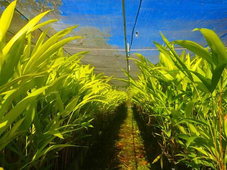 Biofábrica produz mudas de açaí de qualidade