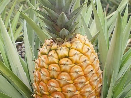 Abacaxi BRS Vitória