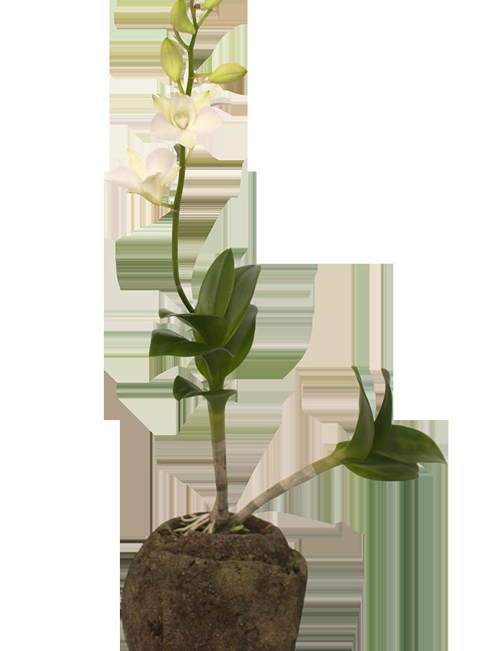 Orquídea Branca