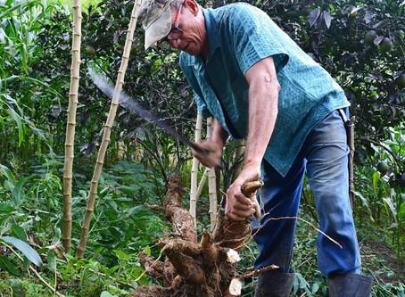 A Biofábrica da Bahia produz mudas de mandioca in vitro