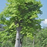 semillas-moringa-arbol-milagrosoa.jpg