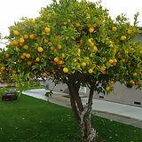 2-limones-arbol-12-mt-altura-envio-grati