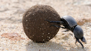 Dung Beetles and Pasture Health