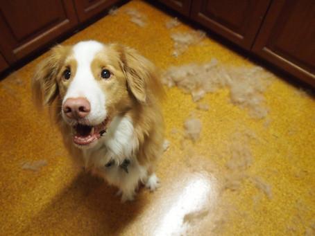 O que significa e como evitar a queda de pelo em cães