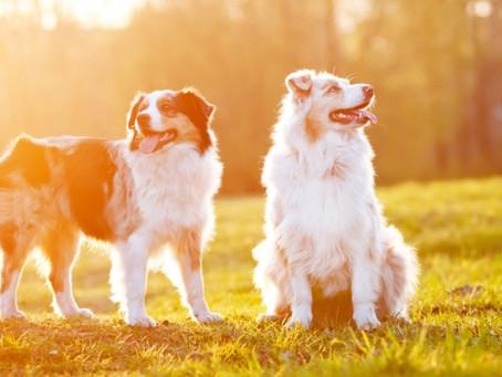 Cuidados com animais de estimação no verão