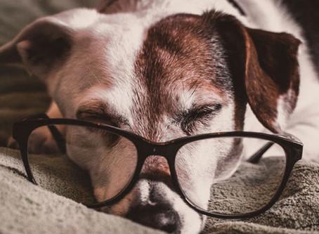 Cachorros idosos precisam de cuidados especiais