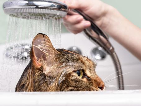 Mitos e verdades sobre banho em gatos