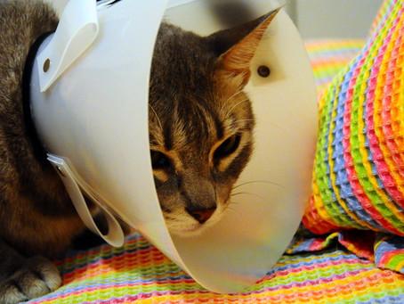 Saiba como cuidar do seu gatinho durante o pós-operatório da cirurgia de castração