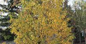 Northernm Select Paper Birch