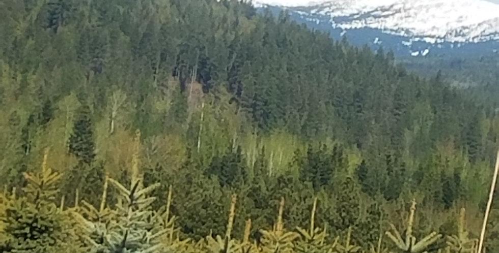 Engelmann Spruce