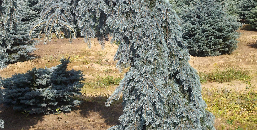 Koster Weeping Blue Spruce