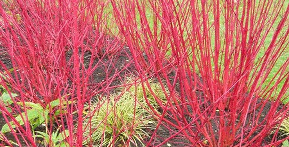 Red Twigged Dogwood