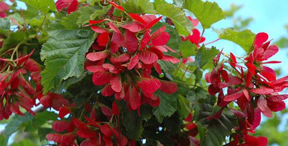 Hot Wings Tatarian Maple