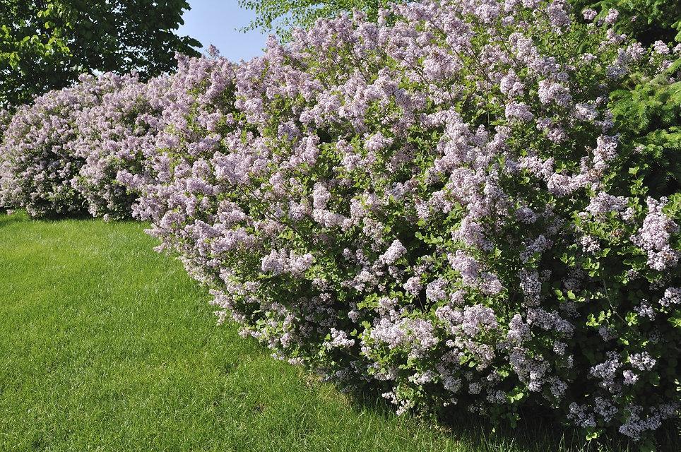 lilac-shrub.jpg