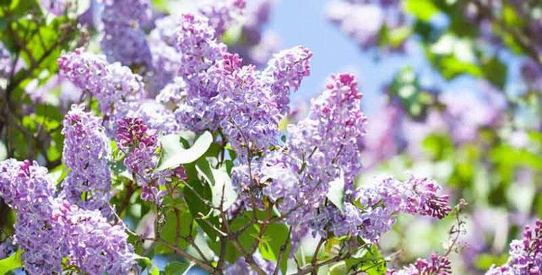 Purple Common Lilac