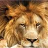 Lion photo - Chris's Instagram.PNG