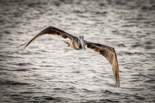 """Just another pelican shot"""
