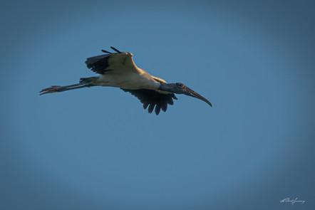 """Wood Stork"""