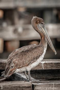 """Pelican Pose"""