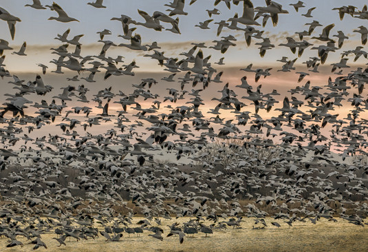 """""""Even more Geese"""""""