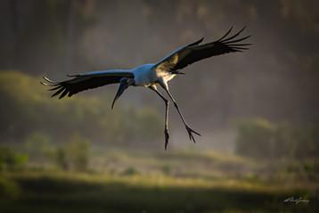 """Wood Stork Landing"""