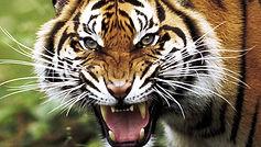 tigre.jfif