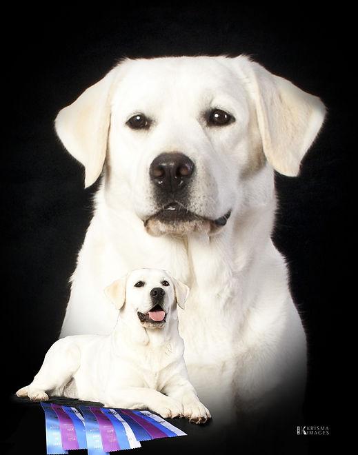 loyal.labradors.calm.reflection.serene.j