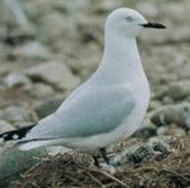 Black billed gull.jpg