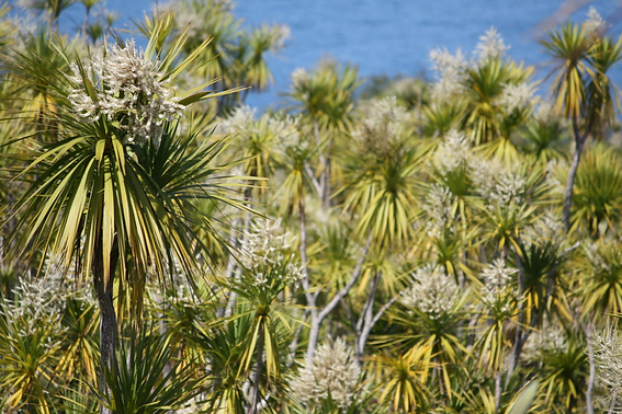 Te kouka - cabbage trees - Eve Manning.PNG