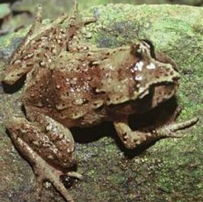 Hamiltons frog cropped.jpg