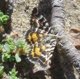 Notoreas perornata cape turnagain adult moth website.jpg