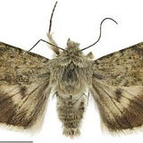 Fuzzweed moth cropped.jpg