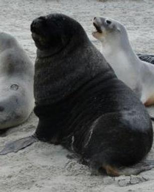 NZ sea lion photo resized.jpg