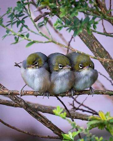 Three tauhou - silvereye, Maupuia2 - Daniel Barrett.PNG