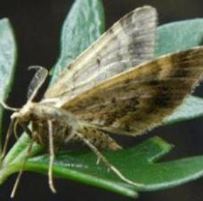 Foveaux looper moth cropped.jpg