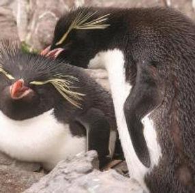 Eastern rockhopper penguin cropped.jpg