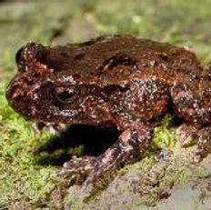 Archeys Frog cropped.jpg