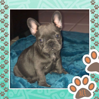 Blue Female Frenchie.png