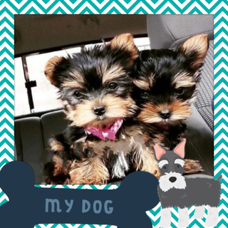 Tiny Yorkies.png