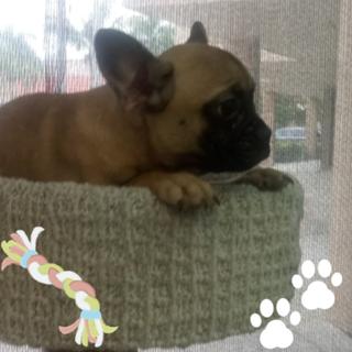 Female French Bulldog.png