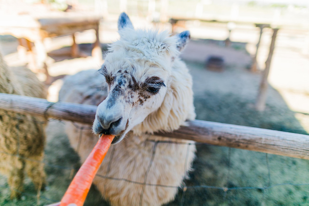 Feeding a llama at Fort Zion, Virgin UT