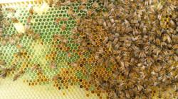 Green honey