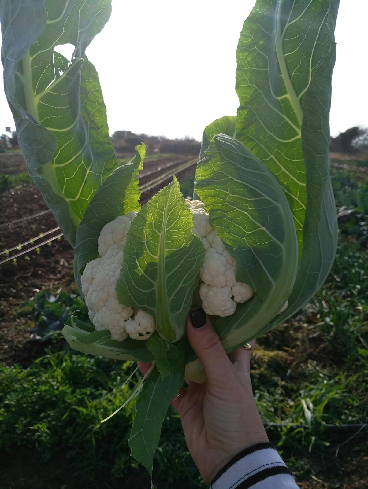 Cauliflower in the morn